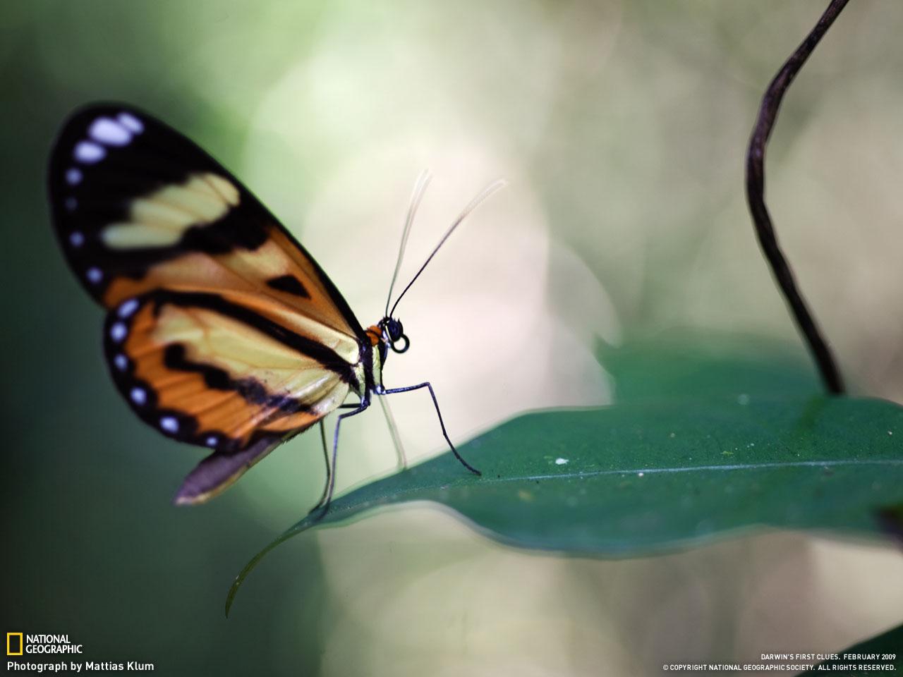 A Hypothyris ninonia daeta butterfly alights on a leaf in Brazil's Atlantic Forest