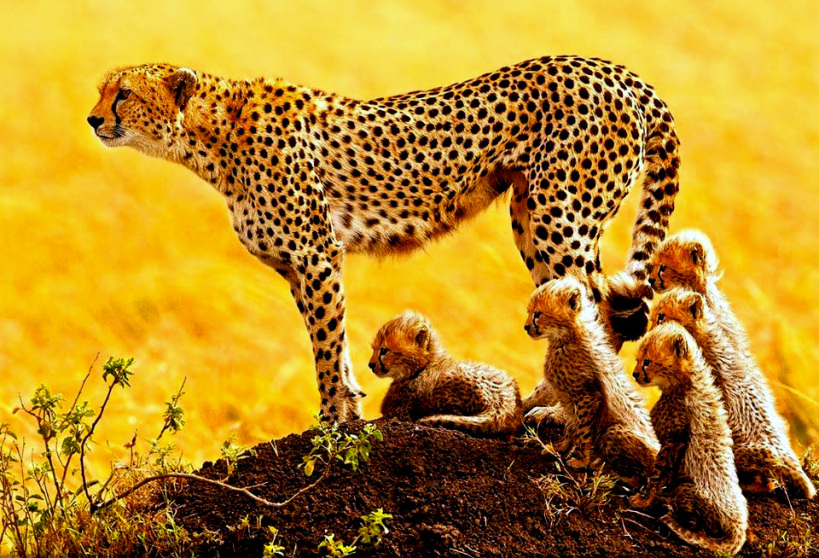 african-cheetah-family-stephen-oachs