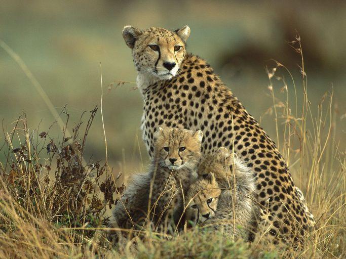 Cheata Cubs