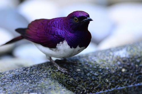violet-starling