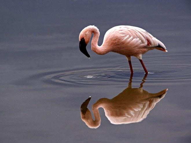 lesser-flamingo
