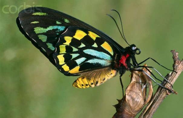 Cairns Birdwing Butterfly Emerging from Cocoon
