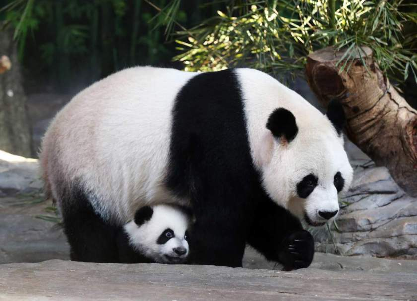 Mother giant panda Juxiao is seen with one of her triplets at Chimelong Safari Park in Guangzhou, Guangdong province