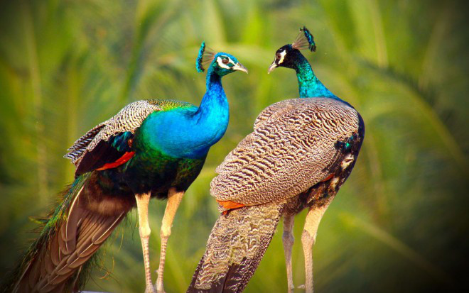 3-beautiful-peacock-photo-by-sibiar_preview