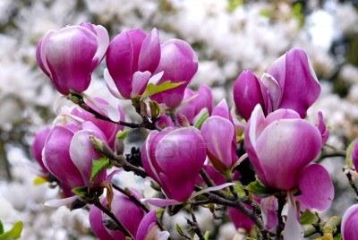 4539403-purple-flowers-of-magnolia