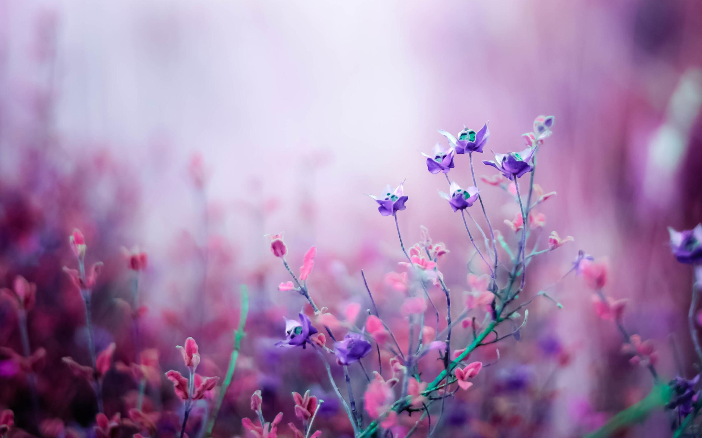 pink_begonia_flowers-wide