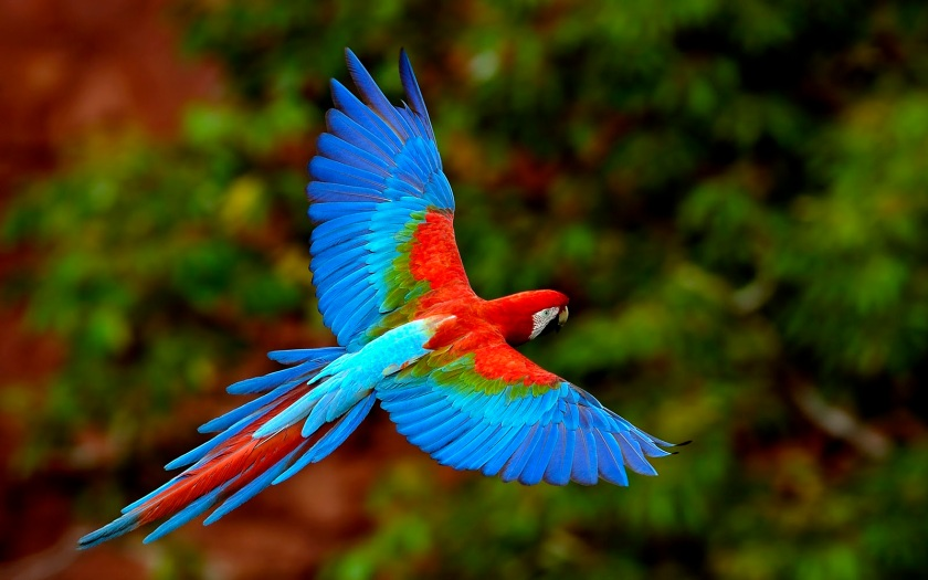 parrot red blue