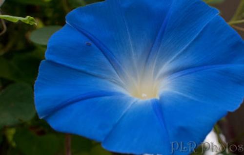 Morning glories, evening splendors — Valerie's Garden Diary